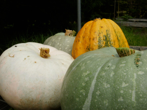 Rare squash for seed