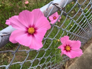 Golden Seeds for Cosmos