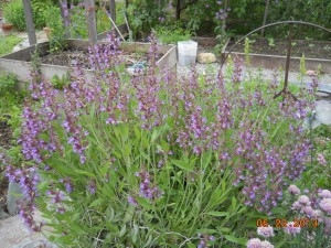 Blooming Sage Plant in the Organic Oasis