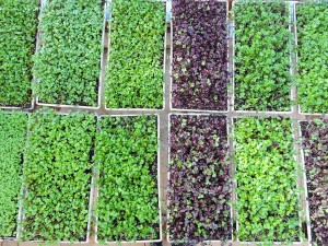 MicrogreenBoxes