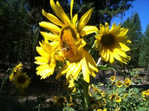 Bee-Friendly Gardening Sunflower